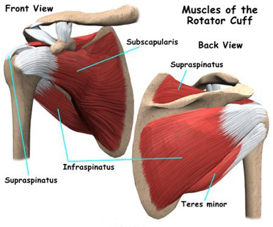 Shoulder anatomy tendons